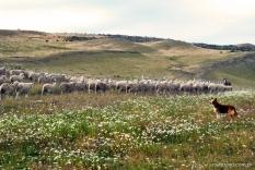 Os cães pastores muito utilizados nas fazendas. Eles atendem aos comandos de apito dos fazendeiros e já sabem pra onde devem correr e guiar as ovelhas.