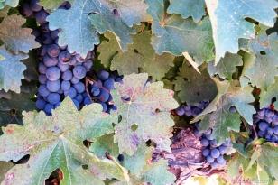 Futuros vinhos
