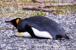 Pinguim rei