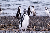 Pinguim de magalhães