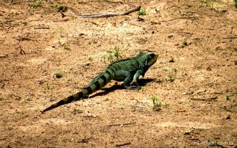 Iguana em Itapecuru